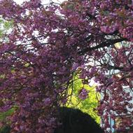 Foto mit pinker Japonica - Trauerfallbegleitung Dr. Gesine Palmer